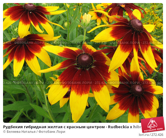 Рудбекия гибридная желтая с красным центром - Rudbeckia x hibrida, фото № 272426, снято 11 августа 2007 г. (c) Беляева Наталья / Фотобанк Лори