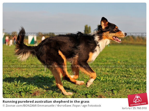 Running purebred australian shepherd in the grass. Стоковое фото, фотограф Zoonar.com/BONZAMI Emmanuelle / age Fotostock / Фотобанк Лори