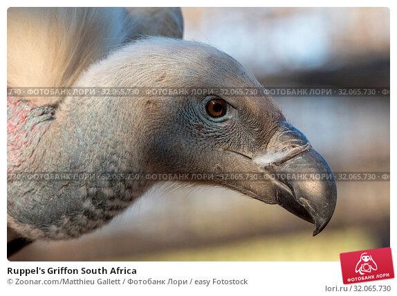 Ruppel's Griffon South Africa. Стоковое фото, фотограф Zoonar.com/Matthieu Gallett / easy Fotostock / Фотобанк Лори