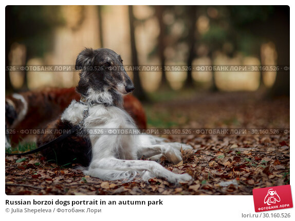 Купить «Russian borzoi dogs portrait in an autumn park», фото № 30160526, снято 23 октября 2016 г. (c) Julia Shepeleva / Фотобанк Лори
