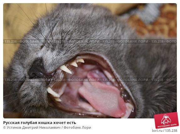 Русская голубая кошка хочет есть, фото № 135238, снято 29 декабря 2006 г. (c) Устинов Дмитрий Николаевич / Фотобанк Лори