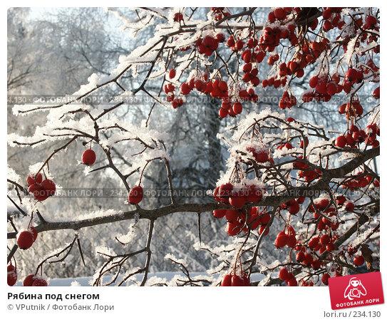 Рябина под снегом, фото № 234130, снято 30 ноября 2004 г. (c) VPutnik / Фотобанк Лори