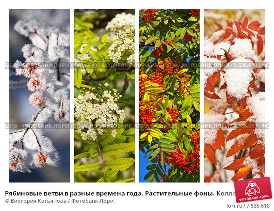 Купить «Рябиновые ветви в разные времена года. Растительные фоны. Коллаж. Календарь (лат. Sorbus aucuparia)», фото № 7535618, снято 23 июля 2019 г. (c) Виктория Катьянова / Фотобанк Лори