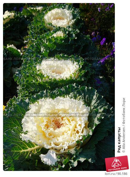 Ряд капусты, фото № 90186, снято 29 сентября 2007 г. (c) Alla Andersen / Фотобанк Лори