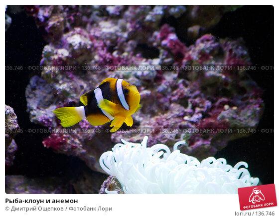 Купить «Рыба-клоун и анемон», фото № 136746, снято 22 апреля 2007 г. (c) Дмитрий Ощепков / Фотобанк Лори