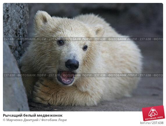 Рычащий белый медвежонок, фото № 237638, снято 22 марта 2008 г. (c) Марченко Дмитрий / Фотобанк Лори