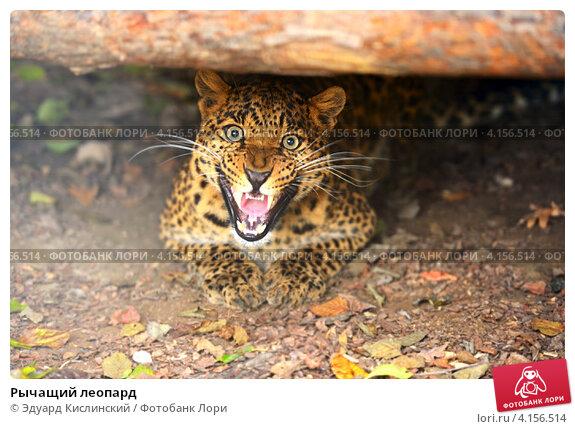 Купить «Рычащий леопард», фото № 4156514, снято 30 сентября 2012 г. (c) Эдуард Кислинский / Фотобанк Лори