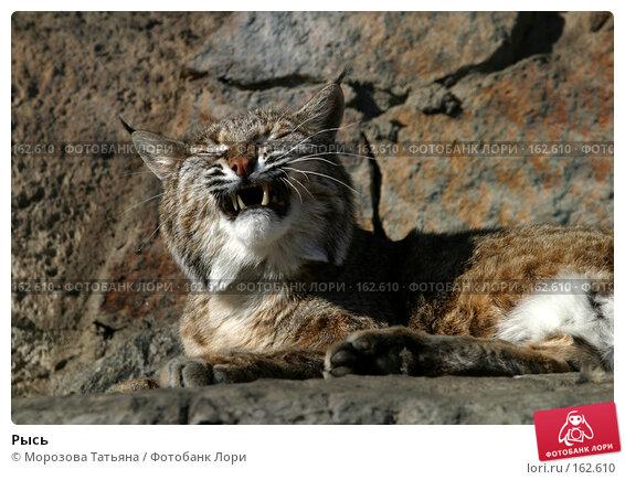 Рысь, фото № 162610, снято 12 апреля 2006 г. (c) Морозова Татьяна / Фотобанк Лори
