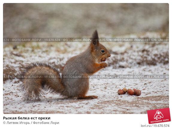 Купить «Рыжая белка ест орехи», фото № 19670574, снято 30 декабря 2015 г. (c) Литвяк Игорь / Фотобанк Лори