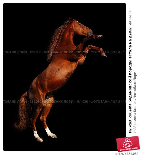 Рыжая кобыла буденовской породы встала на дыбы на черном фоне, фото № 181030, снято 8 мая 2005 г. (c) Абрамова Ксения / Фотобанк Лори