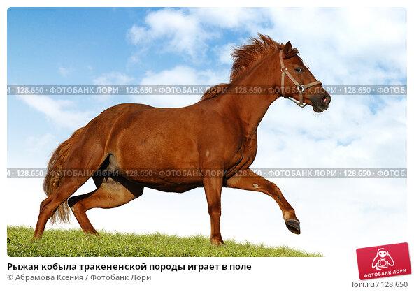 Рыжая кобыла тракененской породы играет в поле, фото № 128650, снято 29 сентября 2007 г. (c) Абрамова Ксения / Фотобанк Лори