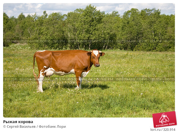 Рыжая корова, фото № 320914, снято 13 июня 2008 г. (c) Сергей Васильев / Фотобанк Лори