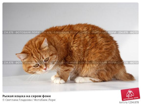 Рыжая кошка на сером фоне, фото № 234878, снято 21 февраля 2017 г. (c) Cветлана Гладкова / Фотобанк Лори