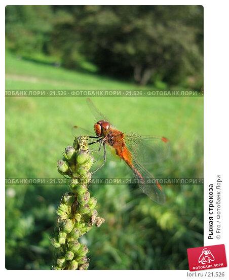 Рыжая стрекоза, фото № 21526, снято 7 августа 2005 г. (c) Fro / Фотобанк Лори