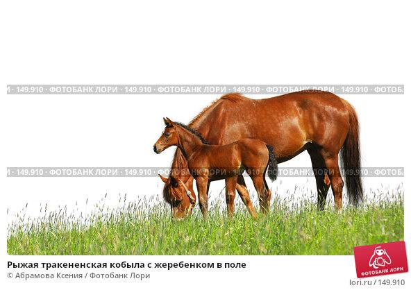 Рыжая тракененская кобыла с жеребенком в поле, фото № 149910, снято 2 июня 2007 г. (c) Абрамова Ксения / Фотобанк Лори