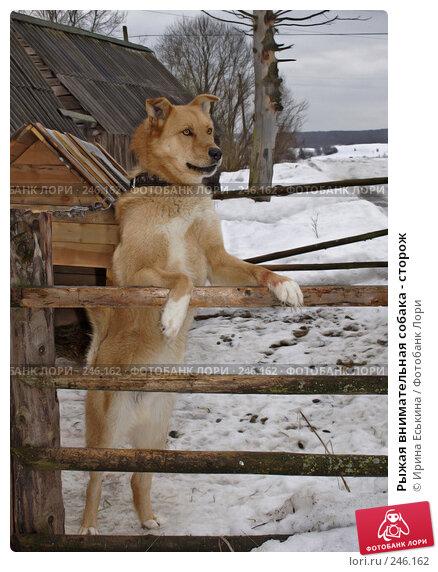Рыжая внимательная собака - сторож, фото № 246162, снято 16 марта 2008 г. (c) Ирина Еськина / Фотобанк Лори