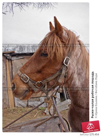 Рыже-чалая рабочая лошадь, фото № 275454, снято 17 апреля 2008 г. (c) Ирина Еськина / Фотобанк Лори
