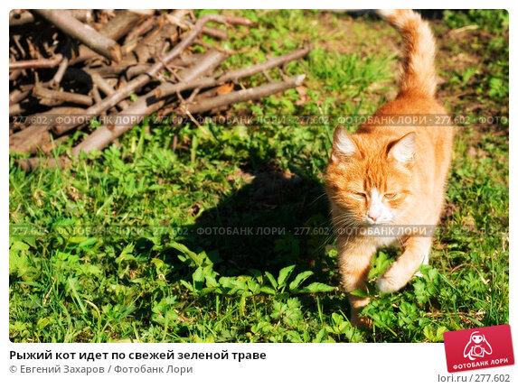 Рыжий кот идет по свежей зеленой траве, фото № 277602, снято 25 апреля 2008 г. (c) Евгений Захаров / Фотобанк Лори