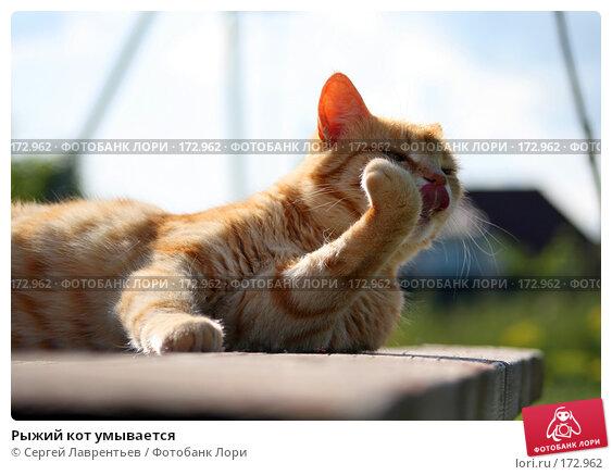 Купить «Рыжий кот умывается», фото № 172962, снято 2 января 2005 г. (c) Сергей Лаврентьев / Фотобанк Лори