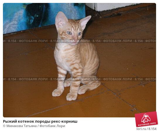 Купить «Рыжий котенок породы рекс-корниш», фото № 8154, снято 20 августа 2006 г. (c) Минакова Татьяна / Фотобанк Лори