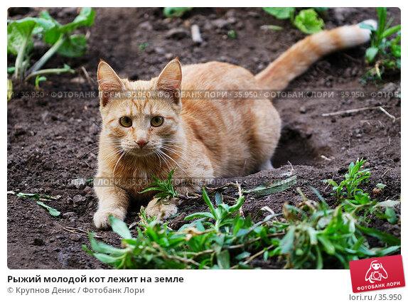 Рыжий молодой кот лежит на земле, фото № 35950, снято 26 марта 2007 г. (c) Крупнов Денис / Фотобанк Лори