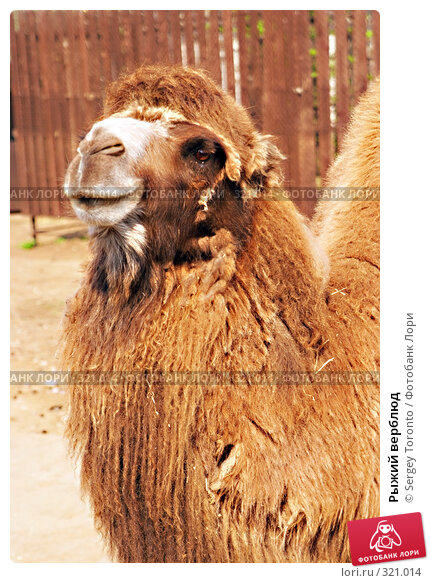 Рыжий верблюд, фото № 321014, снято 12 апреля 2008 г. (c) Sergey Toronto / Фотобанк Лори
