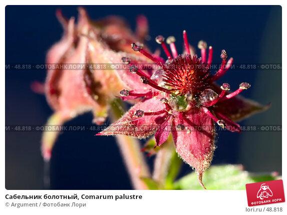Купить «Сабельник болотный, Comarum palustre», фото № 48818, снято 8 июля 2005 г. (c) Argument / Фотобанк Лори