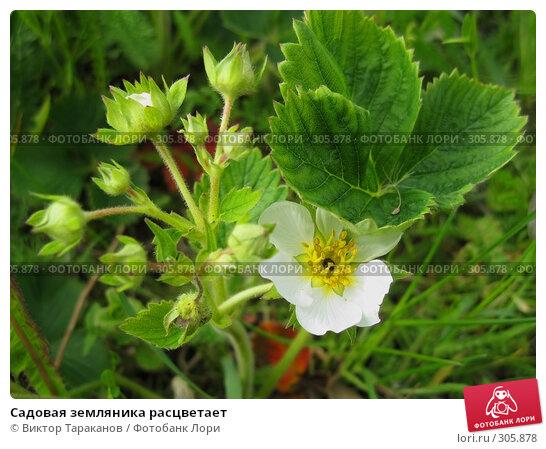 Купить «Садовая земляника расцветает», эксклюзивное фото № 305878, снято 31 мая 2008 г. (c) Виктор Тараканов / Фотобанк Лори