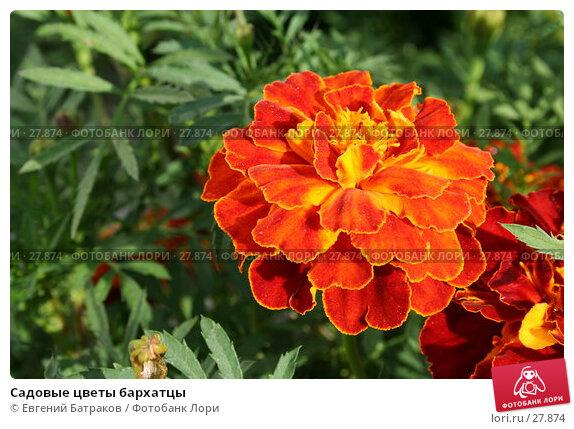 Купить «Садовые цветы бархатцы», фото № 27874, снято 5 августа 2006 г. (c) Евгений Батраков / Фотобанк Лори
