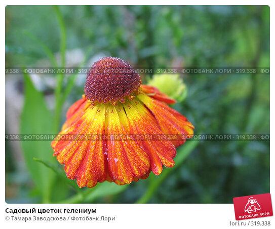 Садовый цветок гелениум, эксклюзивное фото № 319338, снято 3 сентября 2006 г. (c) Тамара Заводскова / Фотобанк Лори