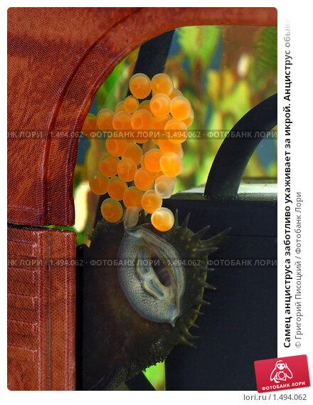 Самец анциструса заботливо ухаживает за икрой. Анциструс ...: http://lori.ru/1494062