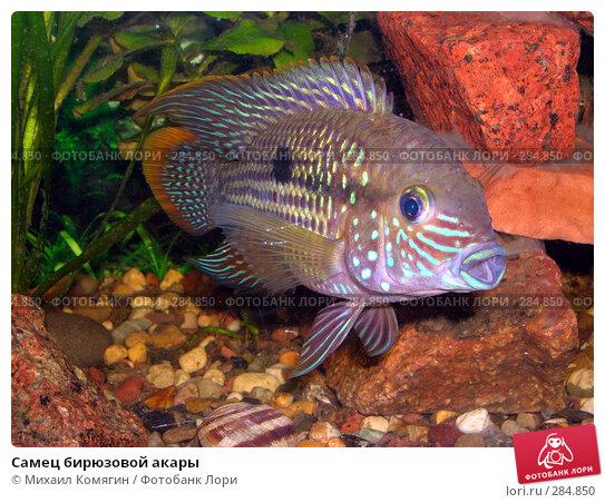 Самец бирюзовой акары, фото № 284850, снято 14 октября 2007 г. (c) Михаил Комягин / Фотобанк Лори