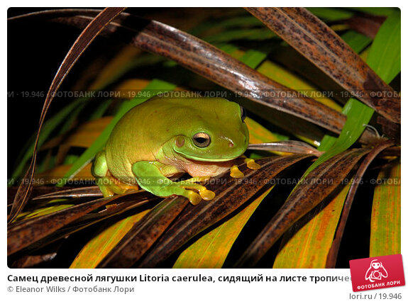 Купить «Самец древесной лягушки Litoria caerulea, сидящий на листе тропической пальмы», фото № 19946, снято 3 февраля 2007 г. (c) Eleanor Wilks / Фотобанк Лори