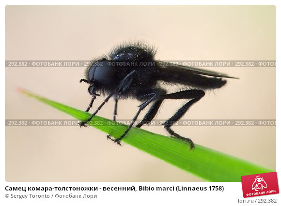 Самец комара-толстоножки - весенний, Bibio marci (Linnaeus 1758), фото № 292382, снято 10 мая 2008 г. (c) Sergey Toronto / Фотобанк Лори