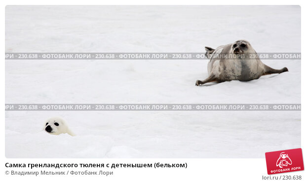 Самка гренландского тюленя с детенышем (бельком), фото № 230638, снято 11 марта 2008 г. (c) Владимир Мельник / Фотобанк Лори