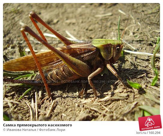 Самка прямокрылого насекомого, фото № 160294, снято 22 августа 2007 г. (c) Иванова Наталья / Фотобанк Лори