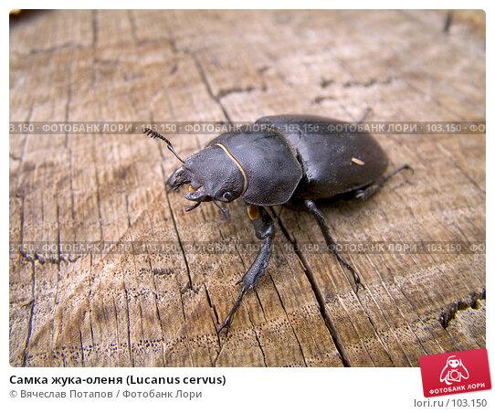 Самка жука-оленя (Lucanus cervus), фото № 103150, снято 25 апреля 2017 г. (c) Вячеслав Потапов / Фотобанк Лори