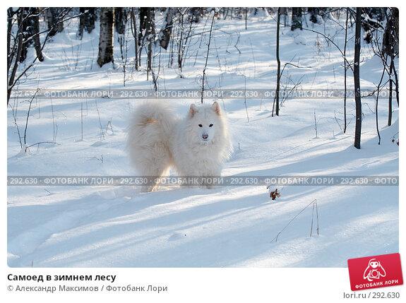 Самоед в зимнем лесу, фото № 292630, снято 11 февраля 2007 г. (c) Александр Максимов / Фотобанк Лори