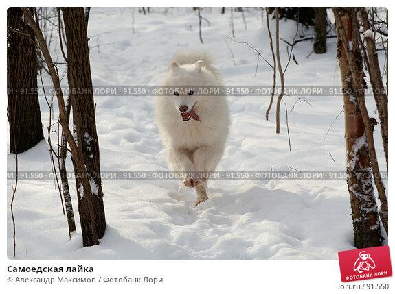 Самоедская лайка, фото № 91550, снято 27 января 2007 г. (c) Александр Максимов / Фотобанк Лори