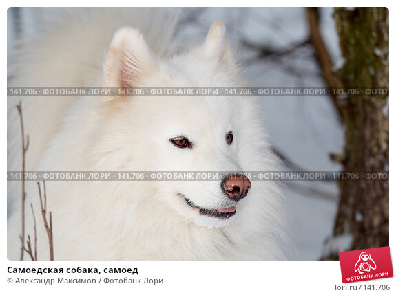 Купить «Самоедская собака, самоед», фото № 141706, снято 27 января 2007 г. (c) Александр Максимов / Фотобанк Лори