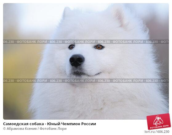 Купить «Самоедская собака - Юный Чемпион России», фото № 606230, снято 8 ноября 2008 г. (c) Абрамова Ксения / Фотобанк Лори