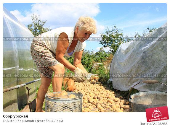 Купить «Сбор урожая», фото № 2128938, снято 14 августа 2010 г. (c) Антон Корнилов / Фотобанк Лори