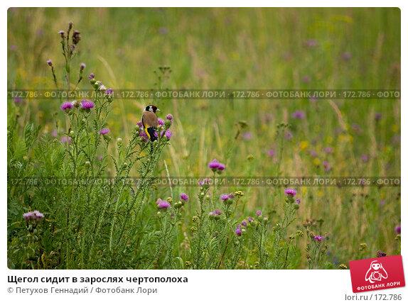 Купить «Щегол сидит в зарослях чертополоха», фото № 172786, снято 7 июля 2007 г. (c) Петухов Геннадий / Фотобанк Лори