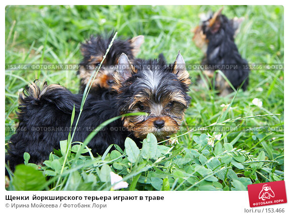 Щенки  йоркширского терьера играют в траве, фото № 153466, снято 31 июля 2007 г. (c) Ирина Мойсеева / Фотобанк Лори