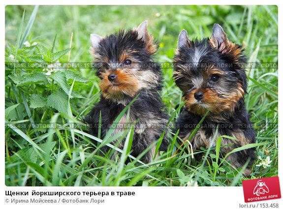 Купить «Щенки  йоркширского терьера в траве», фото № 153458, снято 31 июля 2007 г. (c) Ирина Мойсеева / Фотобанк Лори