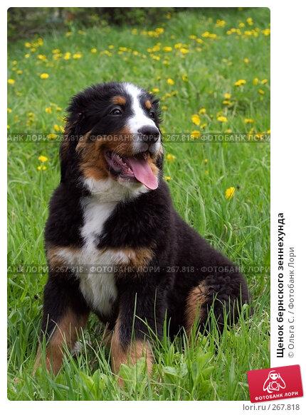 Щенок бернского зеннехунда, фото № 267818, снято 12 мая 2007 г. (c) Ольга С. / Фотобанк Лори