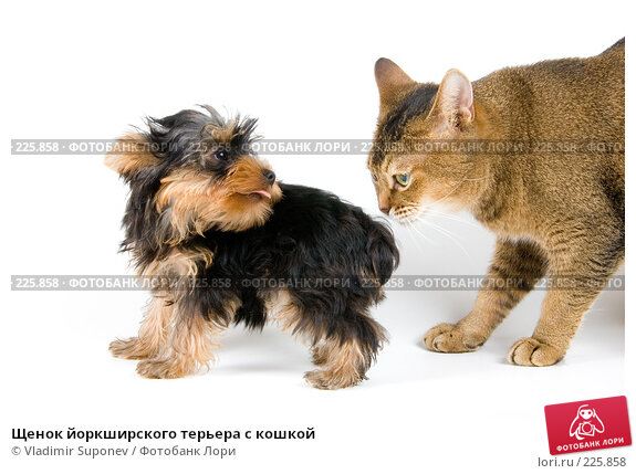 Щенок йоркширского терьера с кошкой, фото № 225858, снято 1 октября 2007 г. (c) Vladimir Suponev / Фотобанк Лори