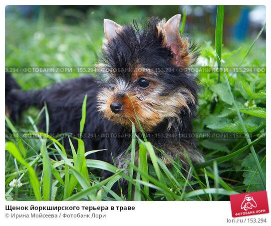 Щенок йоркширского терьера в траве, фото № 153294, снято 31 июля 2007 г. (c) Ирина Мойсеева / Фотобанк Лори