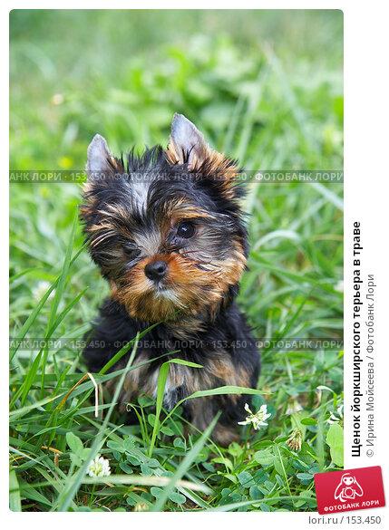 Щенок йоркширского терьера в траве, фото № 153450, снято 31 июля 2007 г. (c) Ирина Мойсеева / Фотобанк Лори