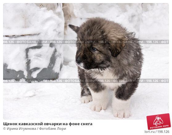 Щенок кавказской овчарки на фоне снега, фото № 198126, снято 2 февраля 2008 г. (c) Ирина Игумнова / Фотобанк Лори